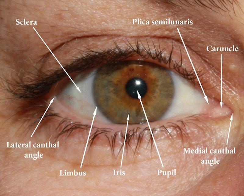 Socket anatomy - New Zealand Prosthetic Eye Service